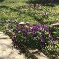 Violettes carré