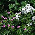 Geranium x oxonianum 'Winscombe', Geranium pyrenaicum 'Summer Sky', Hesperis matronalis ' <b>Alba</b>'