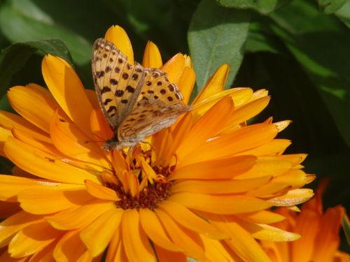 2008 09 10 Un papillon sur une fleur de soucis