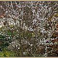 Arbre fleurs blanches 180315