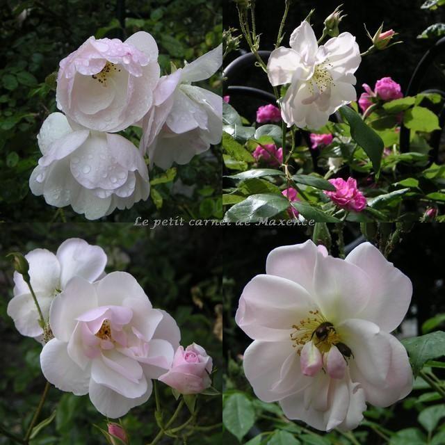 Rosier Sourire d'Orchidée