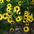 2009 09 10 Fleurs jaunes en fleurs