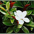Magnolia 250715