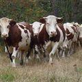 2009 09 11 Les vaches surprisent par le photographe (5)