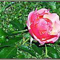 Rose 180915