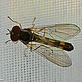 Syrphe Melanostoma scalare • Famille des Syrphidae