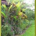 croton du jardin 1