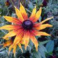 2009 10 13 Une fleur de rudbeckia