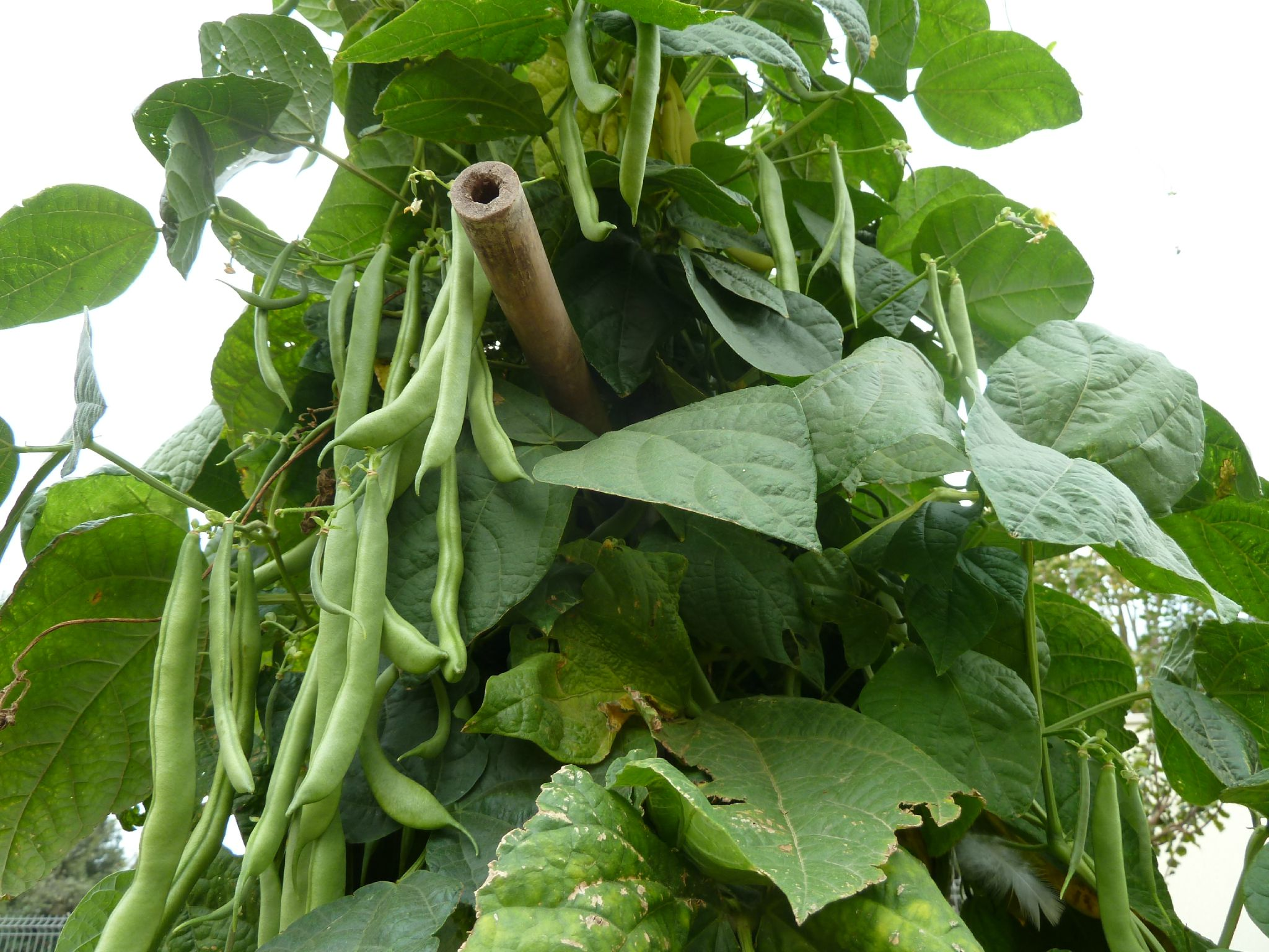 haricots rames - www.passionpotager.canalblog.com
