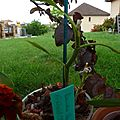 <b>Dendrobium</b> stardust 'Firebird'