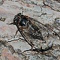 cicadatra_atra_2