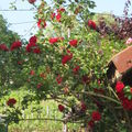 Rosiers rouges 028