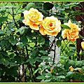 Roses jaunes 080515