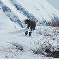 Grizzly, documentaire animalier tendre et vibrant, fascinant et magique, signé disneynature