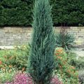 <b>JUNIPERUS</b> scopulorum 'Skyrocket'