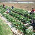 Rhubarbe d'Alsace