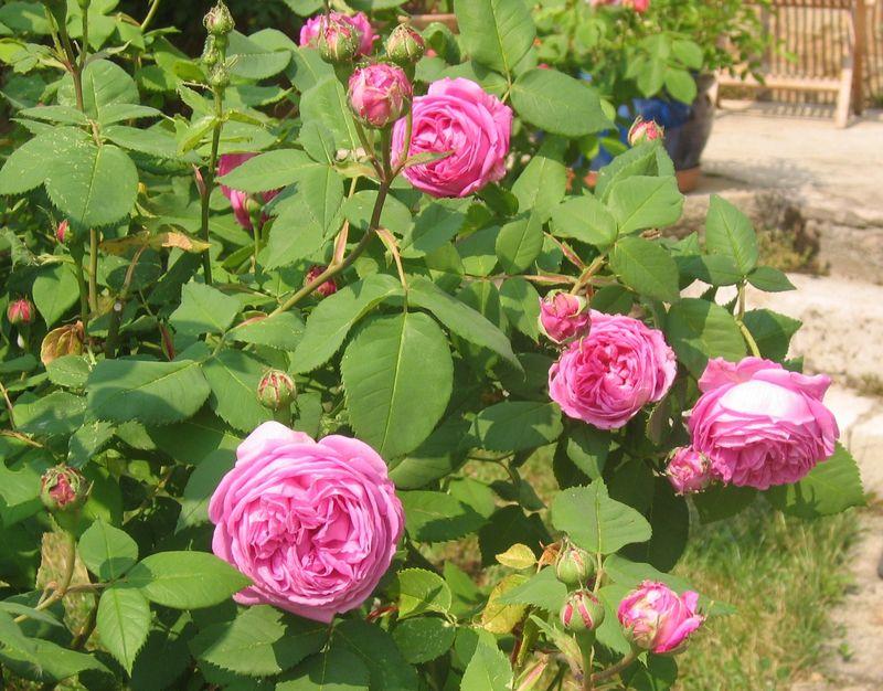 Rose ancienne : 'Mme Gabriel Luizet'