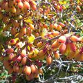 Berberis aetnensis