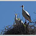 Cigognes sur le nid