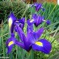 L'iris à l'origine de l'emblème des rois de france