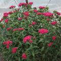2009 05 25 Les oeillets de poètes en fleurs sous serre