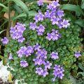 Plante idéale pour les <b>rocailles</b>, dallages ou murets…