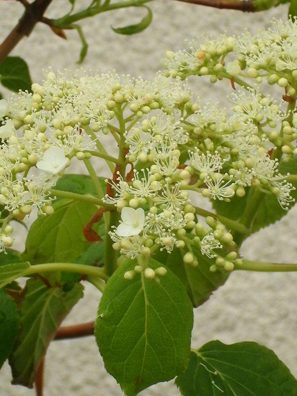 Hortensia feuilles de chêne
