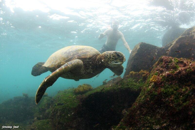 tortue verte en vol galapagos