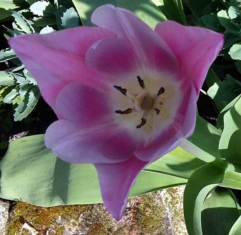voyage au coeur des tulipes .....