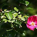 Rose simple_13 14 05_2713