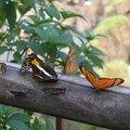 Papillons d'Iguazú