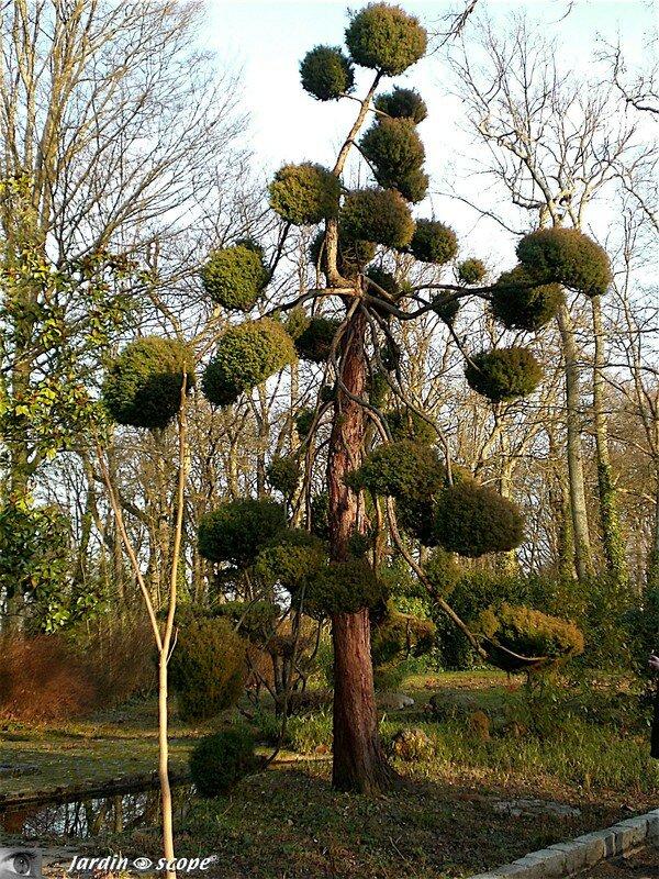 La taille en nuages pour un style zen au jardin le jardinoscope cot pratique les bons - Maladie des thuyas ...