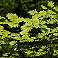 Maple Tree - Japanese Grarden Seattle
