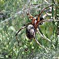 Une araignée chevronnée en toiles tubulaires...