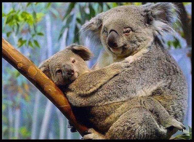koala tendresse 1