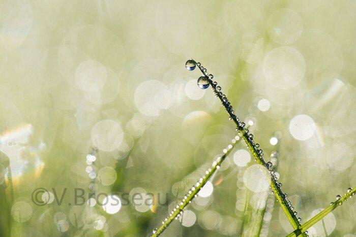 herbe-rosée14-02