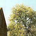 Blossonnier (poirier)