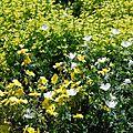 Geranium sanguineum 'Album', Helianthemum 'Wisley Primrose', <b>Origanum</b> <b>vulgare</b> 'Aureum'.