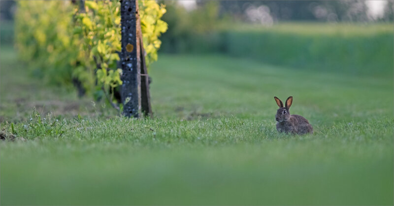 plaine lapins matin 190518 ym 3