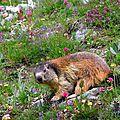 Marmotte.....