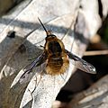 Le Grand bombyle (Bombylius major)