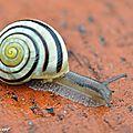Escargot des jardins • Cépaea hortensis rayé