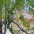 De très jolis petits perroquets considérés comme envahisseurs !