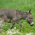 2008 06 02 Un âne dans l'herbe