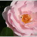 Septembre de rose