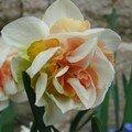 2008 04 06 Un fleur de Narcisse double à trois couleurs