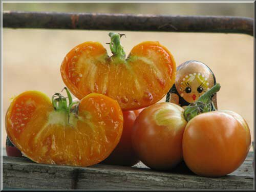 3 - tomate azoychka - www.passionpotager.canalblog.com