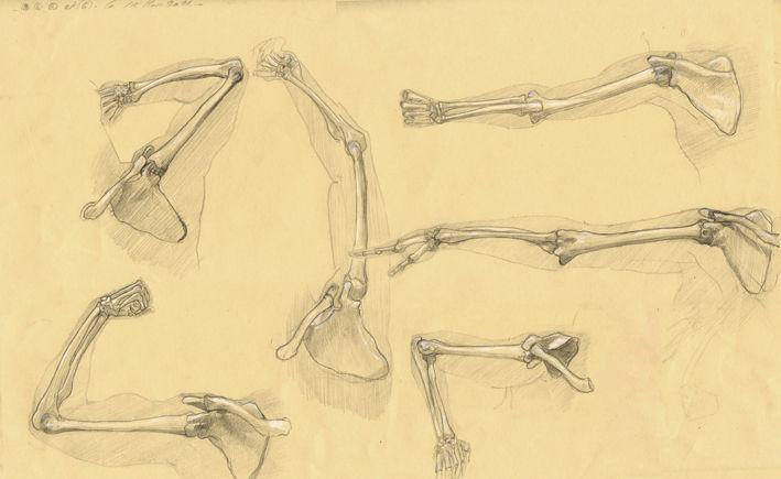 Ostéologie du bras 01