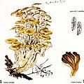 Grifola umbellata Becker p. 298