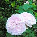 La Rose Manning's Blush